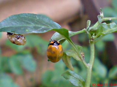transverse ladybug emerged from the pupa 09
