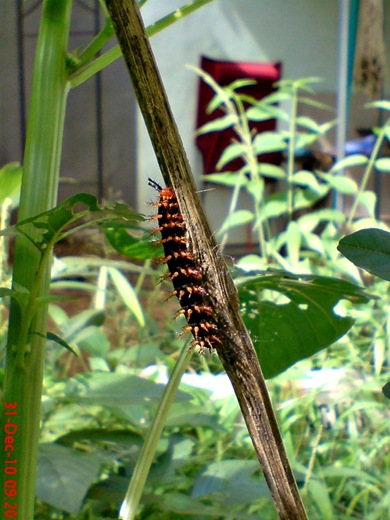 ulat Kupu-kupu Common Eggfly - Hypolimnas bolina 4