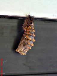 caterpillar turn into chrysalis 07