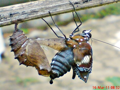 Common Eggfly Butterfly Emerging from a Chrysalis 03