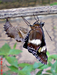 Common Eggfly Butterfly Emerging from a Chrysalis 08