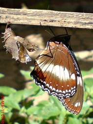 Common Eggfly Butterfly Emerging from a Chrysalis 11