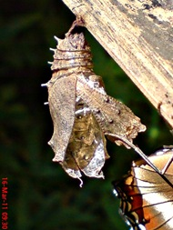 Common Eggfly Butterfly Emerging from a Chrysalis 12