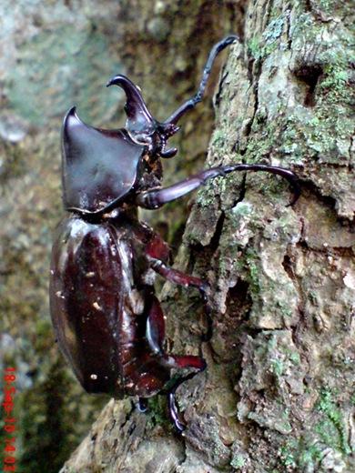 Xylotrupes gideon_Kumbang Badak_Rhinoceros Beetle 04