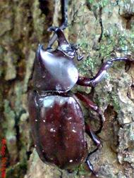 Xylotrupes gideon_Kumbang Badak_Rhinoceros Beetle 10