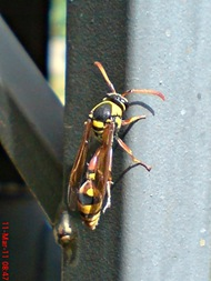 Delta campaniforme_Yellow and black potter wasp 06