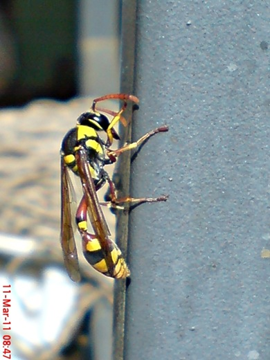 Delta campaniforme_Yellow and black potter wasp 04
