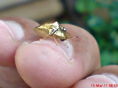 Aspidomorpha sanctaecrucis tortoise beetles 10