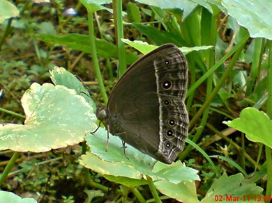 Bushbrown butterfly_Mycalesis horsfieldi 1