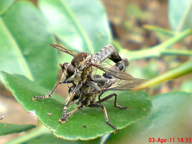 robber fly mating 09