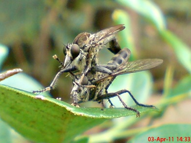 robber fly mating 08