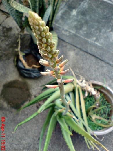 medicinal plant_Aloe vera_lidah buaya 6
