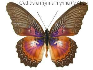 Cethosia myrina myrina male