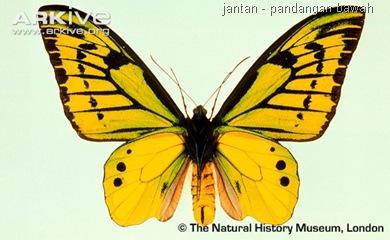 ARKive image GES014606 - Chimaera birdwing