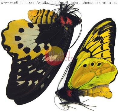 Ornithoptera chimaera pair