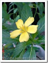 Turnera ulmifolia_ramgoat dashalong 5