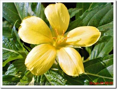 yellow Turnera ulmifolia 03