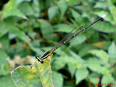Copera marginipes_Yellow Featherlegs_capung jarum 18