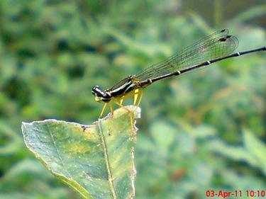 Copera marginipes_Yellow Featherlegs_capung jarum 16