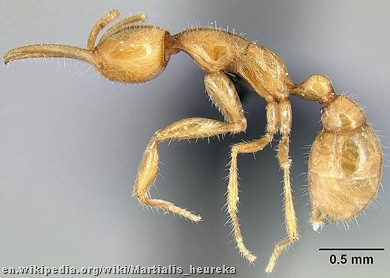 Martialis heureka _ant from Mars 2