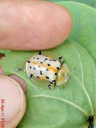 Aspidomorpha miliaris_tortoise beetles 03