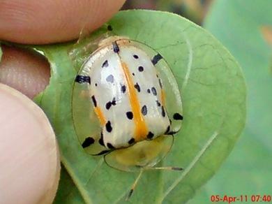 Aspidomorpha miliaris_tortoise beetles 04
