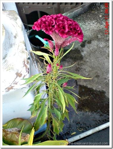 bunga jengger ayam_Celosia cristata 02
