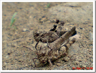 brown grasshopper mating 14