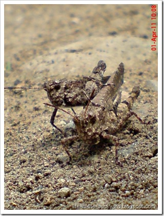 brown grasshopper mating 15