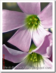 Oxalis triangularis_False Shamrock 3