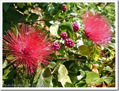 Calliandra tergemina_Kaliandra_Powderpuff Plant 05