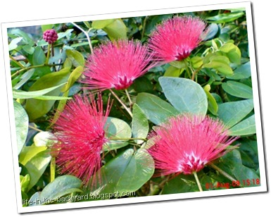 Calliandra tergemina_Kaliandra_Powderpuff Plant 07