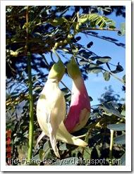 Sesbania grandiflora_turi merah putih 36