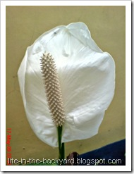 Spathiphyllum wallisii_Peace Lily 14