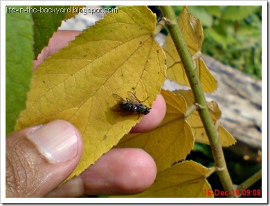 Fly Mating_Musca domestica_Lalat Rumah_House Fly 3