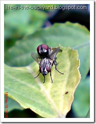 Fly Mating_Musca domestica_Lalat Rumah_House Fly 7