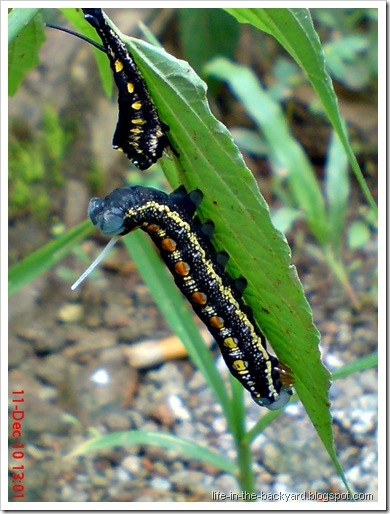 caterpillar molting 5