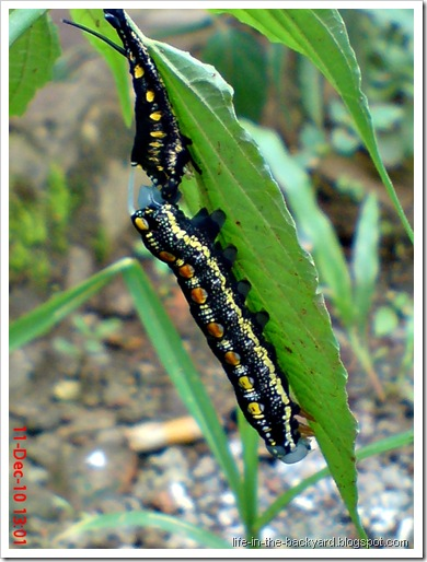 caterpillar molting 4