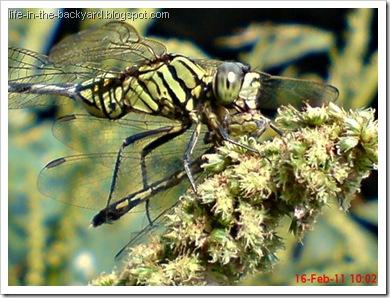 dragonfly eating dragonfly _foto capung badak makan capung 2