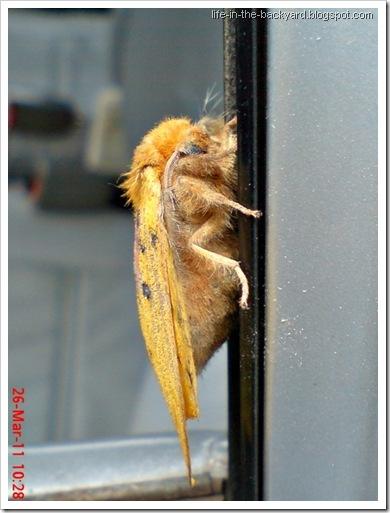 Trabala ganesha_Ngengat_Moth 2