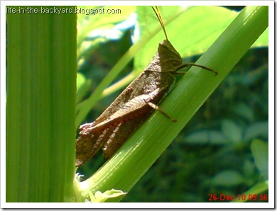 brown grasshopper2