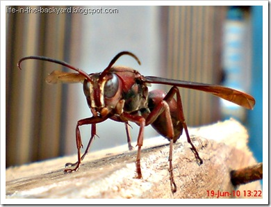 Polistes tenebricosus_Paper Wasp 2