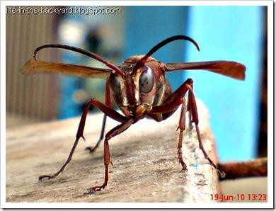 Polistes tenebricosus_Paper Wasp 3