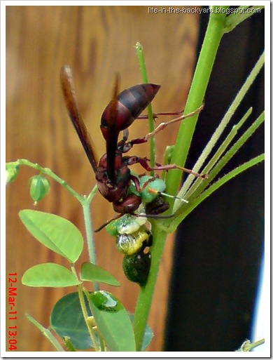 wasp caught and cut its prey 7