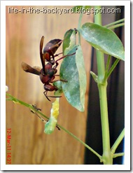 wasp caught and cut its prey 6