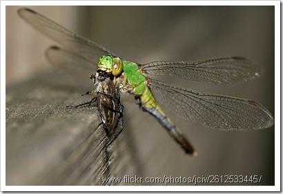 capung menangkap lalat