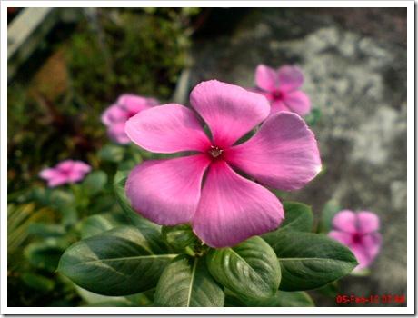 Foto bunga tapak dara merah catharantus roseus 3