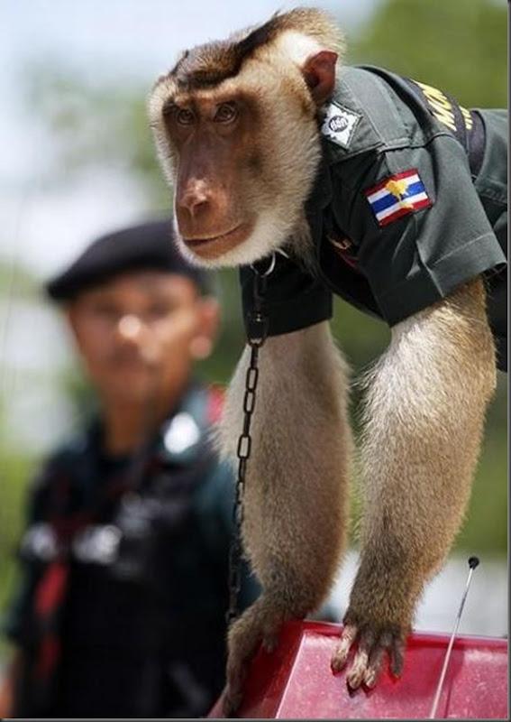Policial macaco na Thailandia (4)
