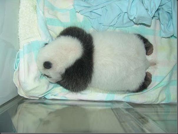 bebe panda (14)