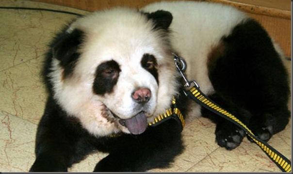 Cães pandas e tigres na China (8)